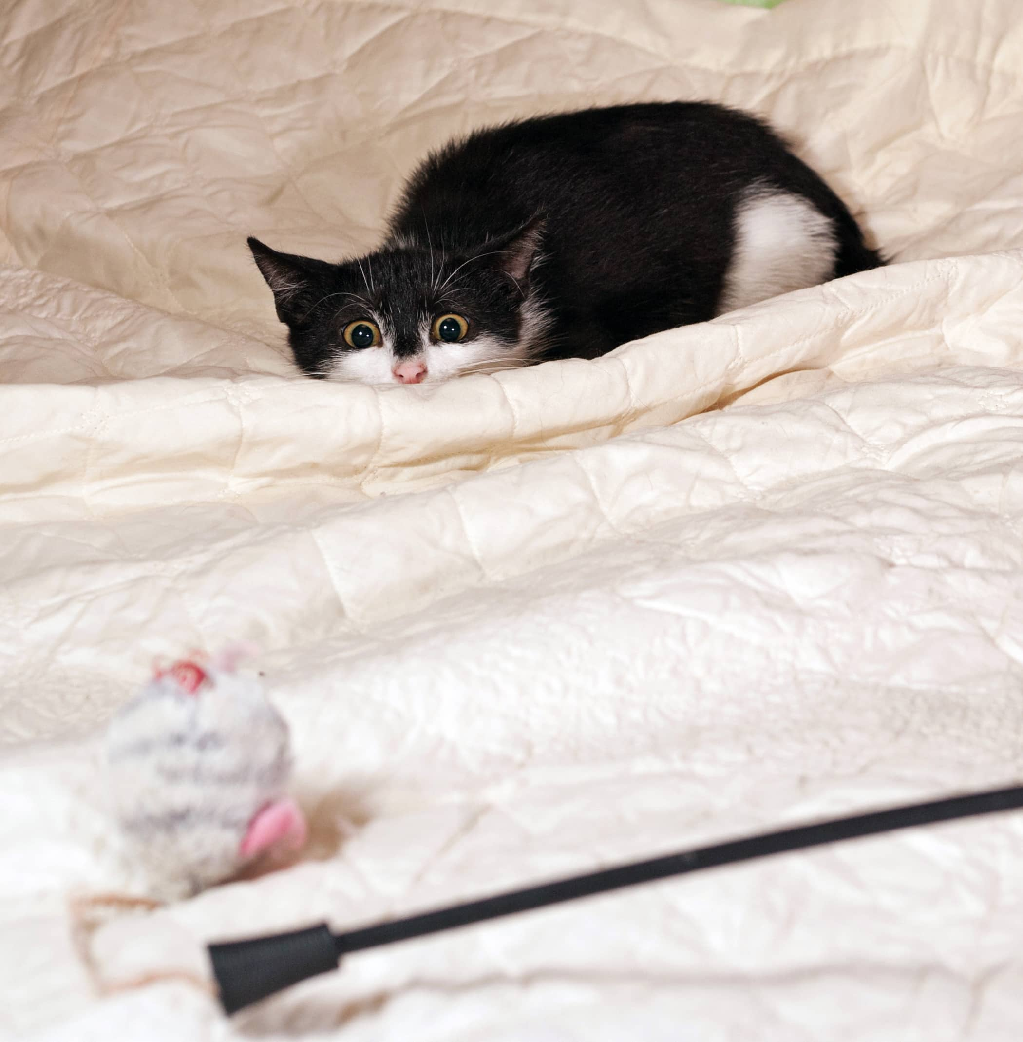 Black and white kitten ready to pounce on toy mouse on a white bedspread.