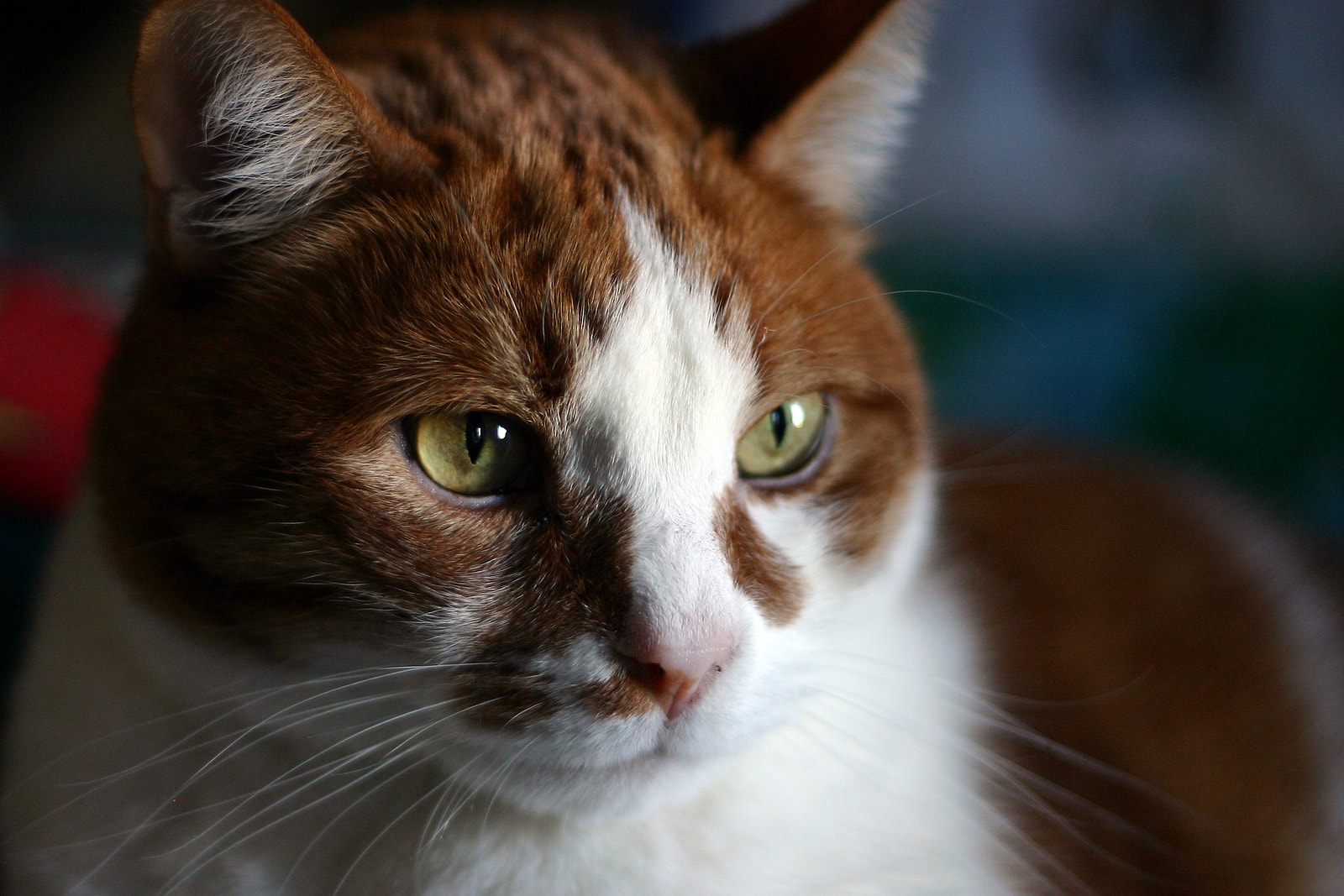 Brown, orange and white cat up close