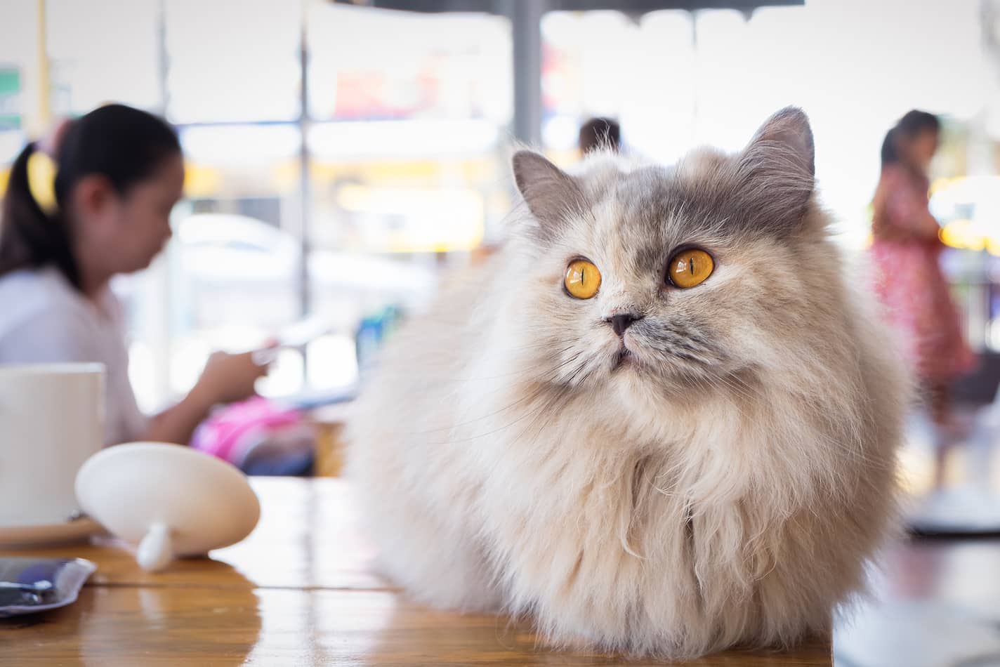 Fluffy white and gray cat sitting on wood table in cat cafe