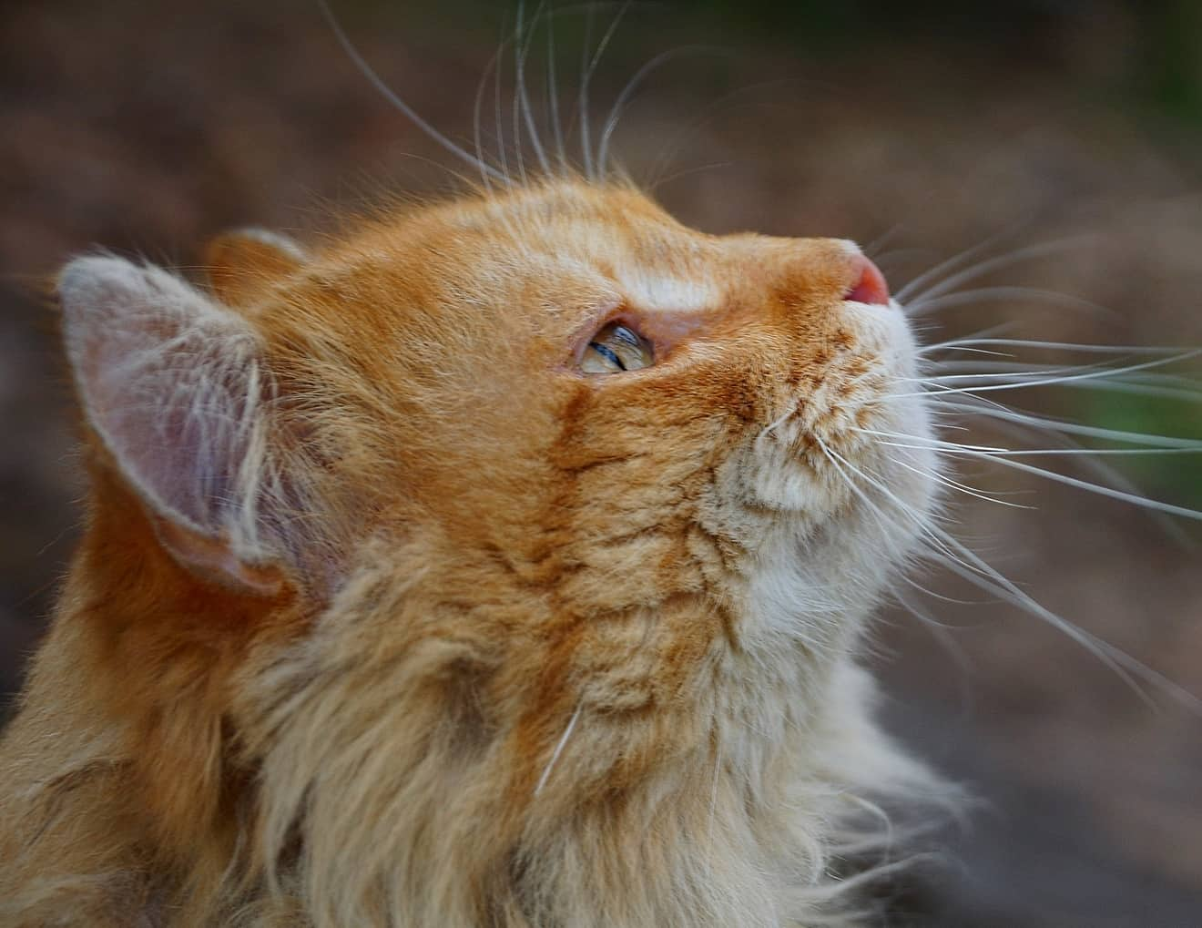 Head of a ginger cat looking up
