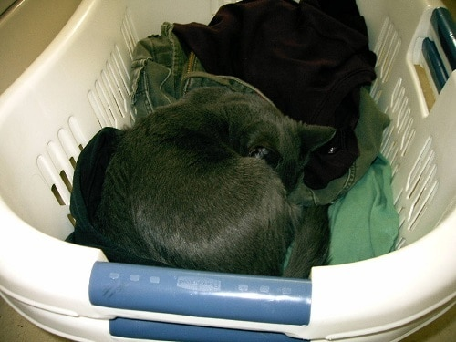 Gray cat curled up in a white laundry basket.
