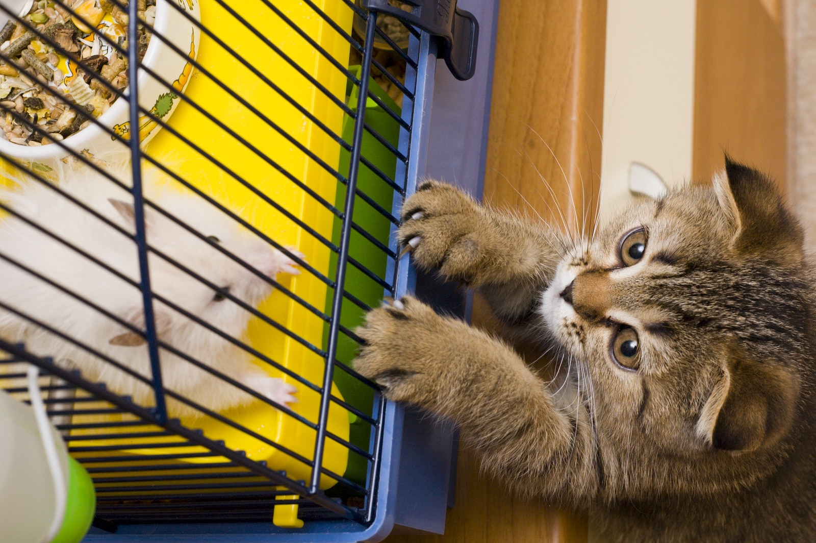 Little tabby kitten stangs up looking at white mouse in cage