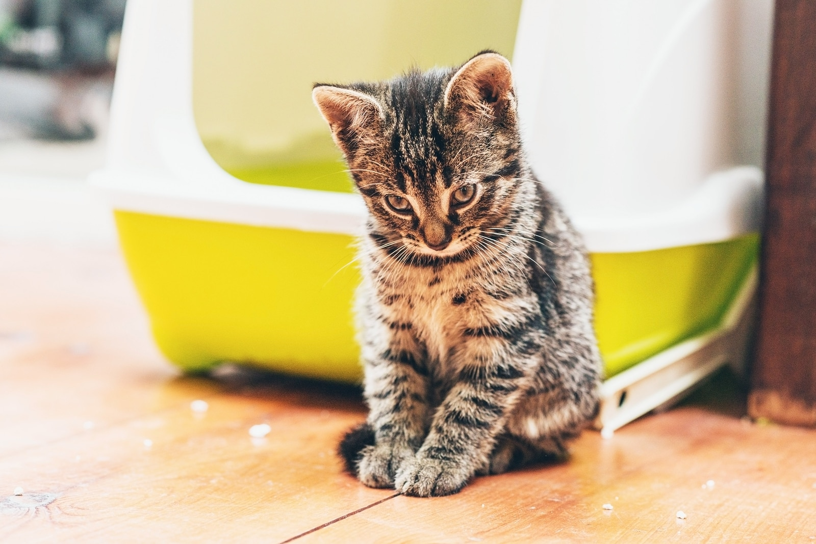 Tabby kitten with head bowed sits in front of a yellow enclosed litter box.