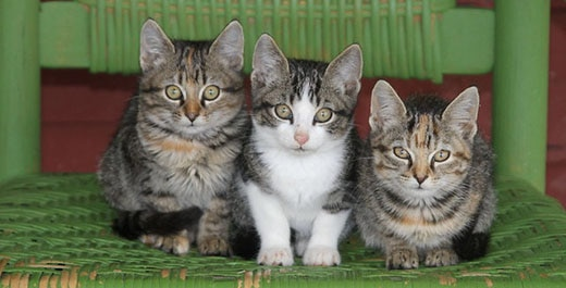 Three brown tabby kittens sitting in a row on a green wicker chair