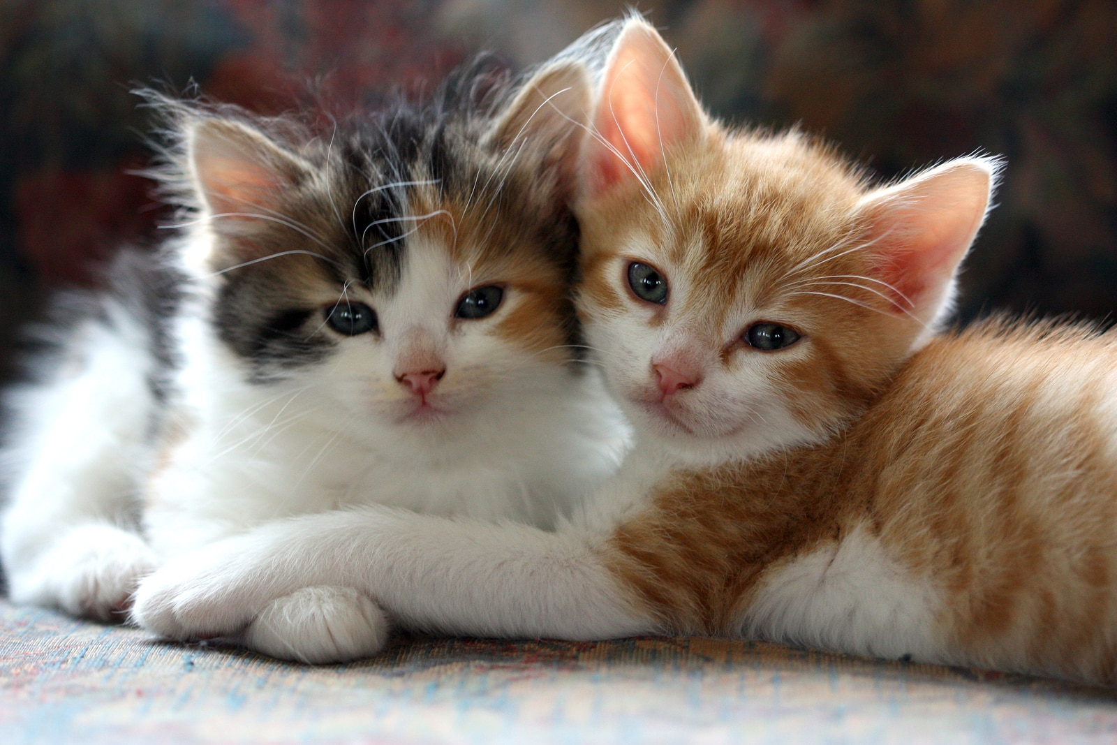 Two kittens cuddling together.