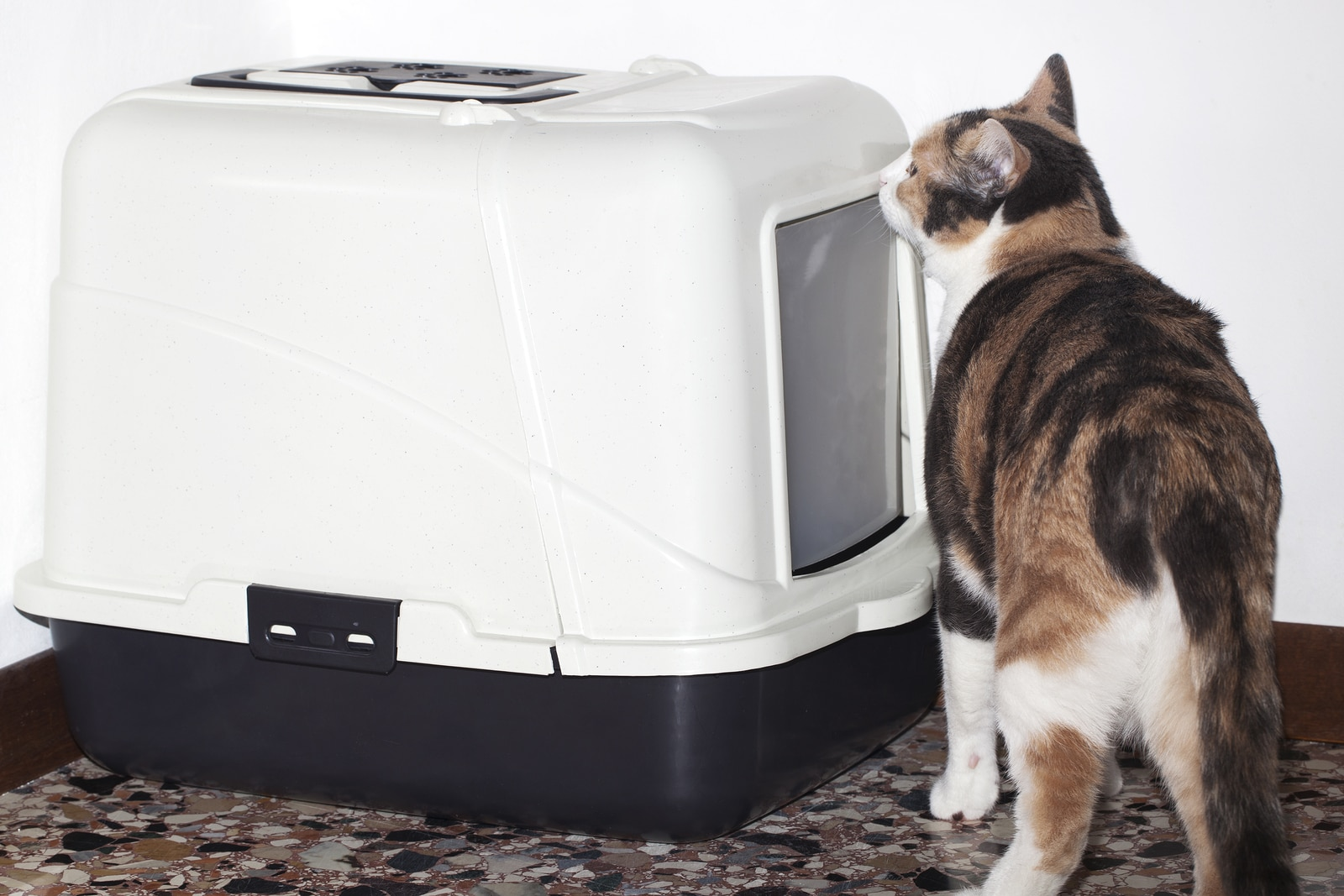Calico cat sniffing a litter box.