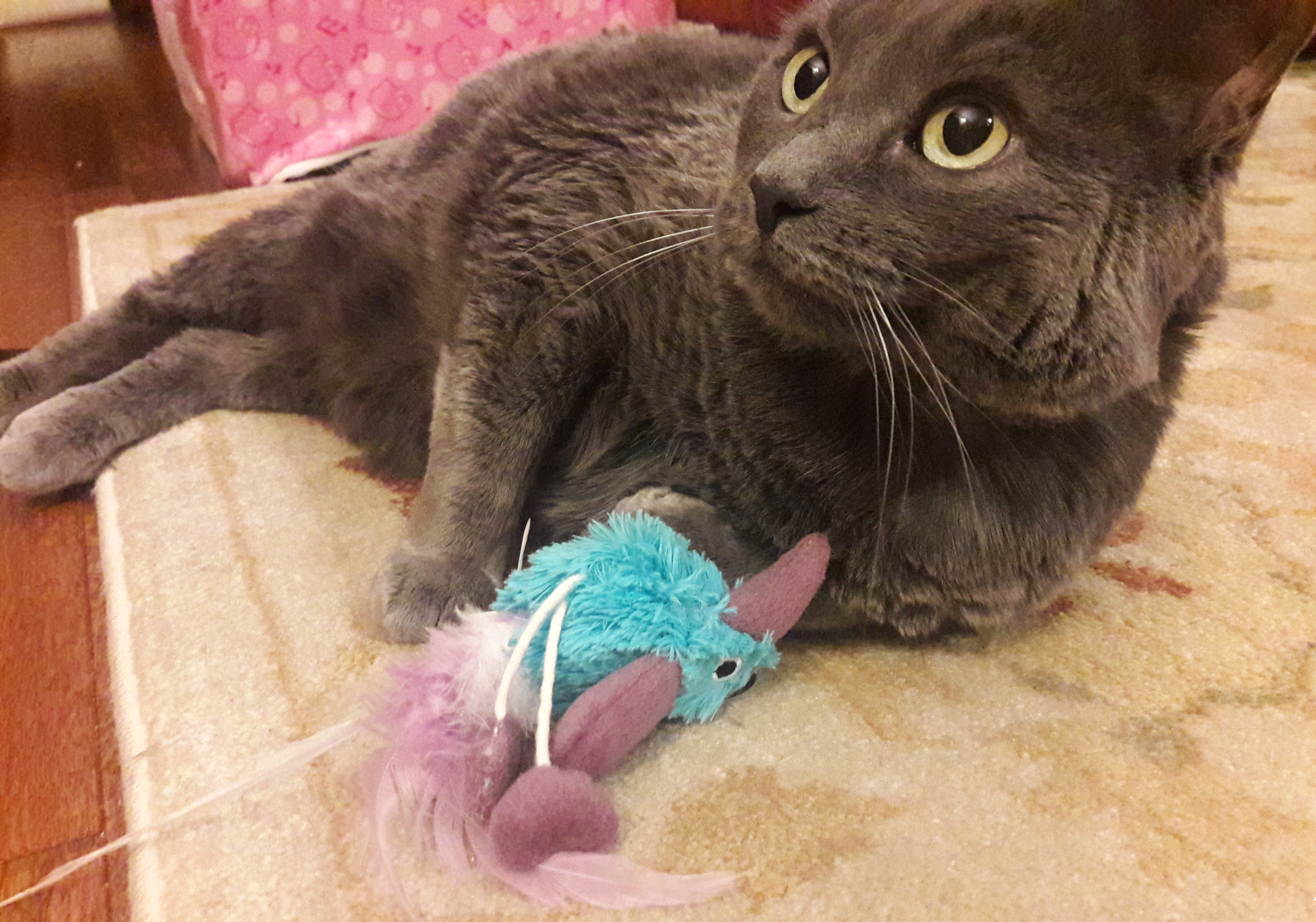 gray cat playing with blue toy bird on a string