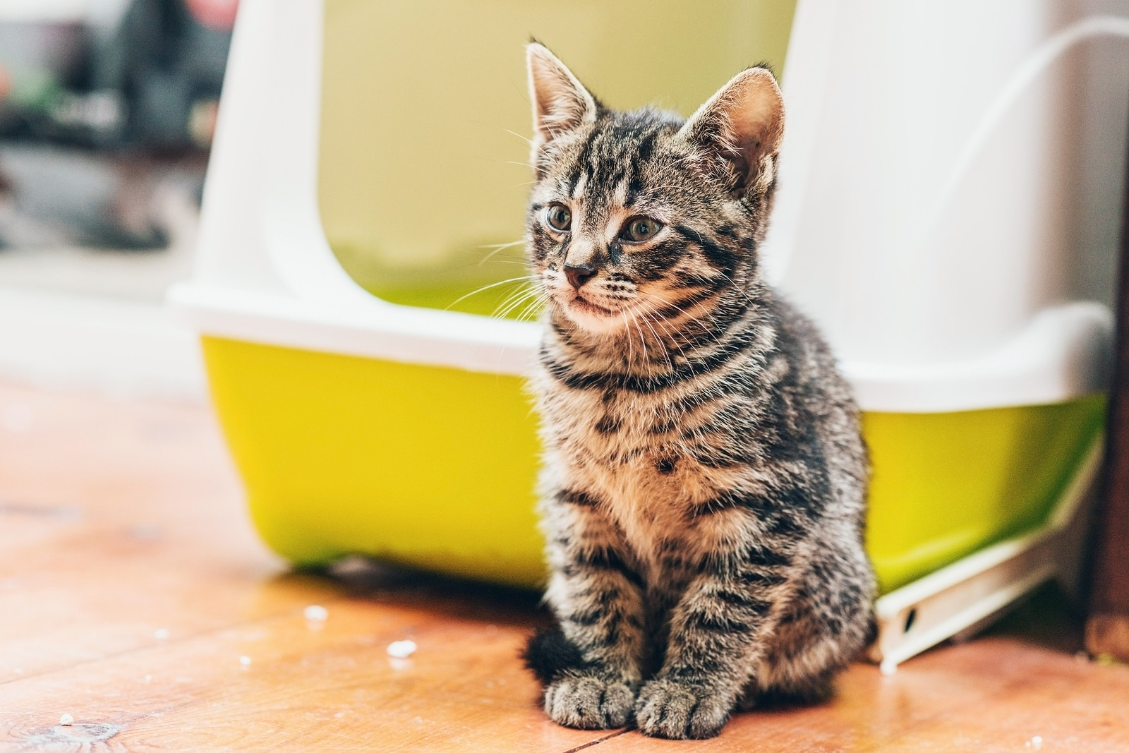 Gray striped tabby kitten sits in front of bright yellow litter box.