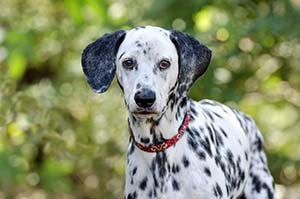dalmatian-with-red-collar