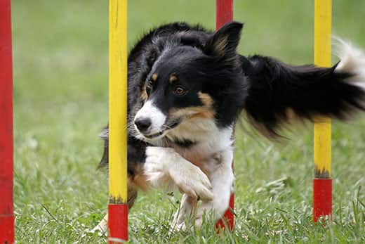 Border collie doing slalom obstacle in agility