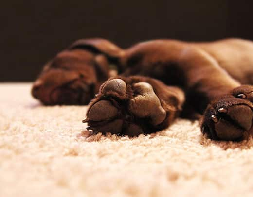 Focus on chocolate lab's underside of his feet.