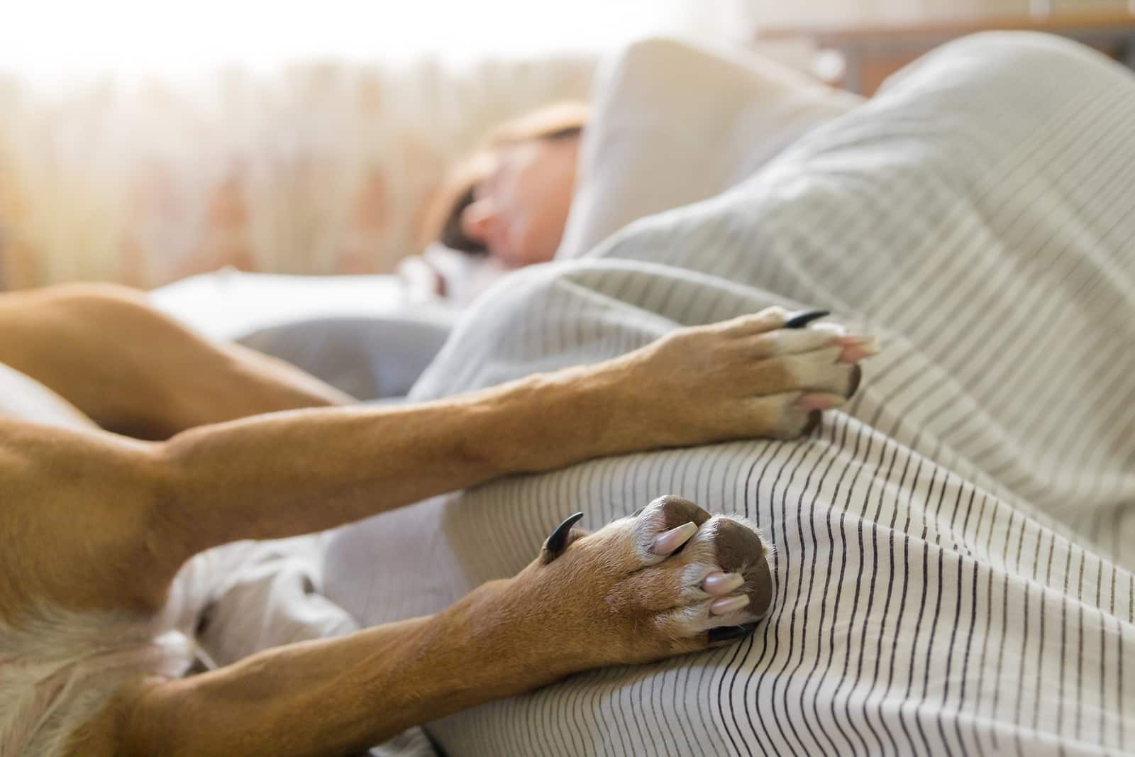 Dog and human sleep in bed. Image of dog paws in bed with a human sleeping in the background on a bright sunny morning.