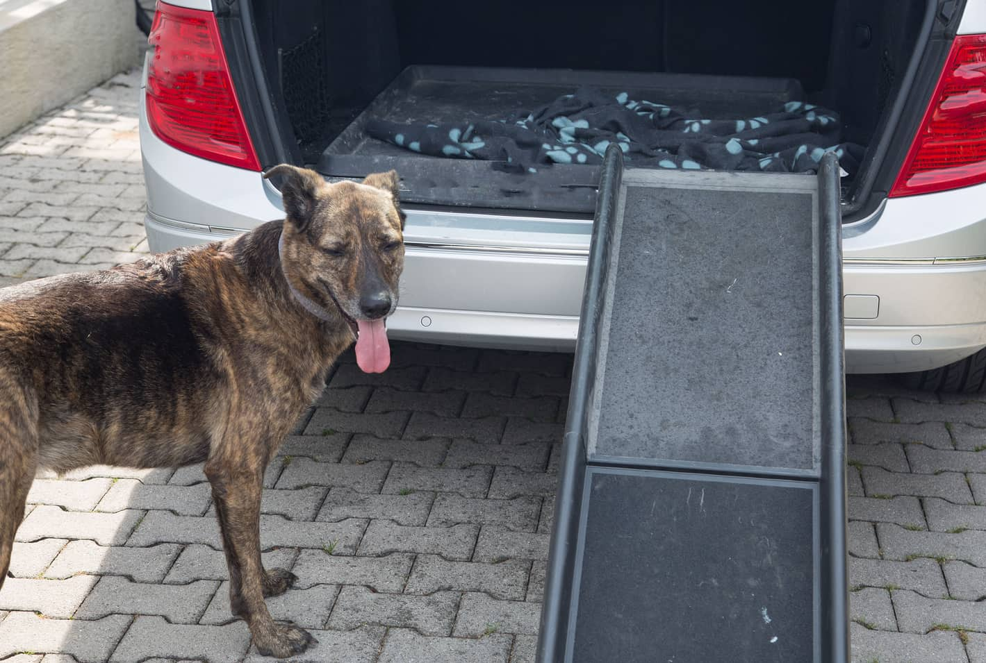 Brown senior dog about to walk up a ramp into the back hatch of a car