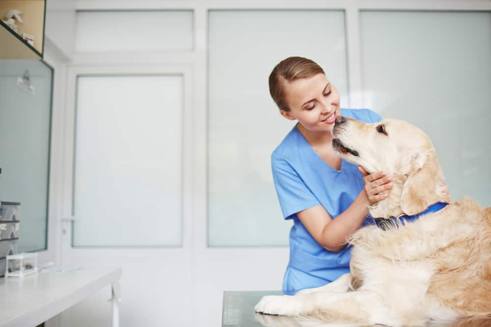 Young female veterinarian in blue uniform inspecting golden retriever in blue colla on table during check-up.