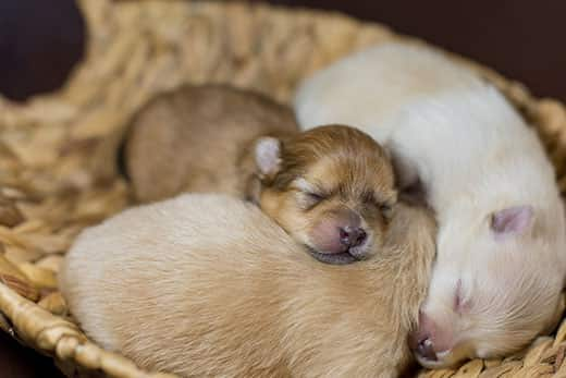Newborn Spitz Pomeranian puppies snoozing together in a basket.