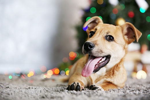 Smiling dog laying on carpet with Christmas tree in background