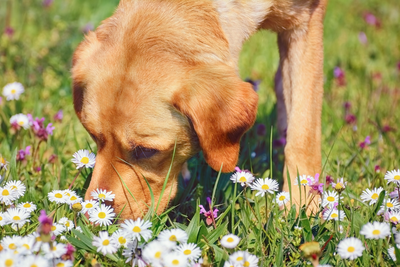Yellow lab mix sniffs flowers in a field.