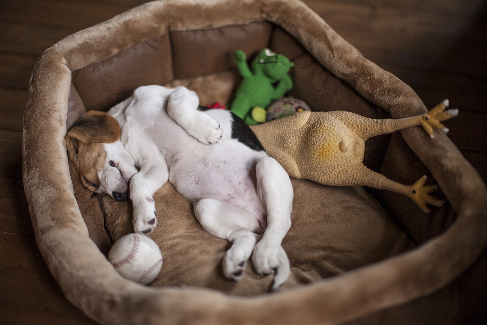 Puppy sleeps on her back in a brown dog bed with toys around her.
