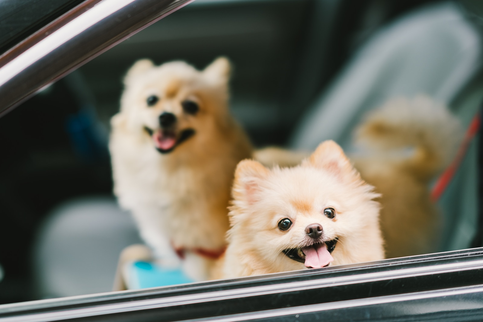 Two pomeranian dogs smiling in car.