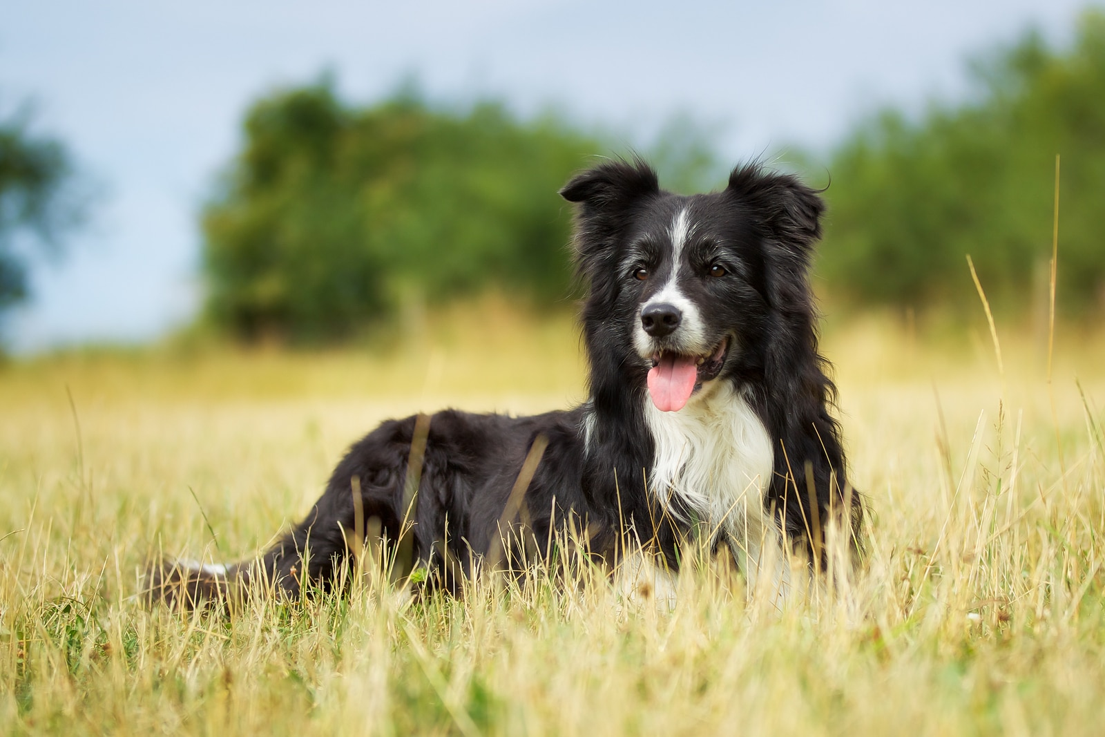 Black and white border collie laying in a farm field.