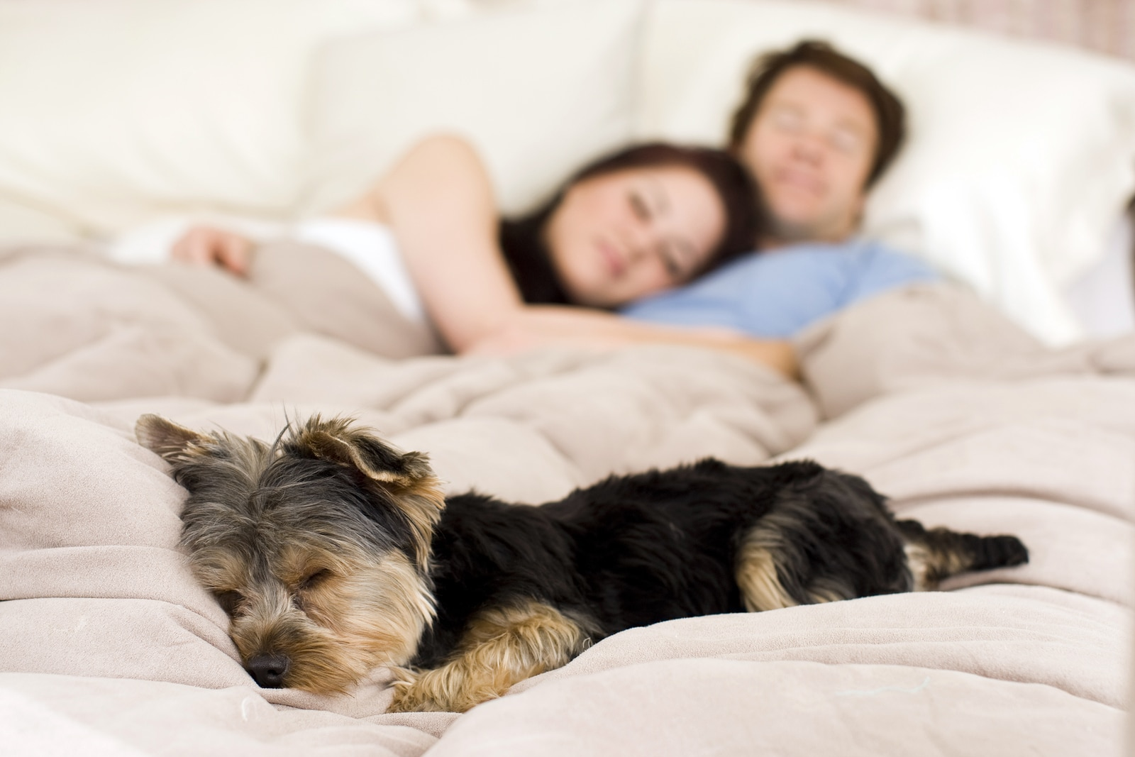 Couple lying in bed in background, while Yorkie in bed is in foreground