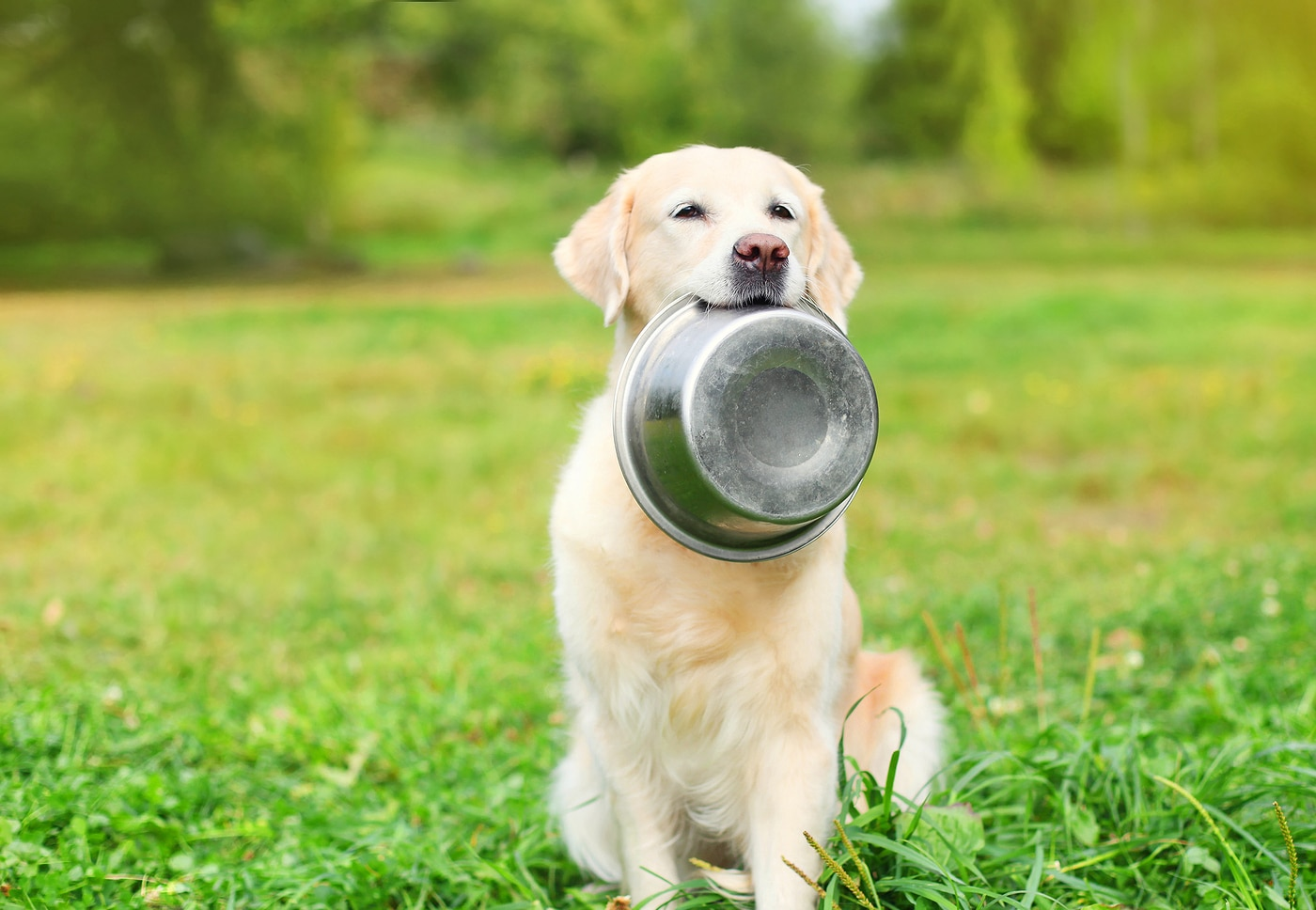 Golden Retriever dog holding metal dog food bowl in mouth outside in green park.