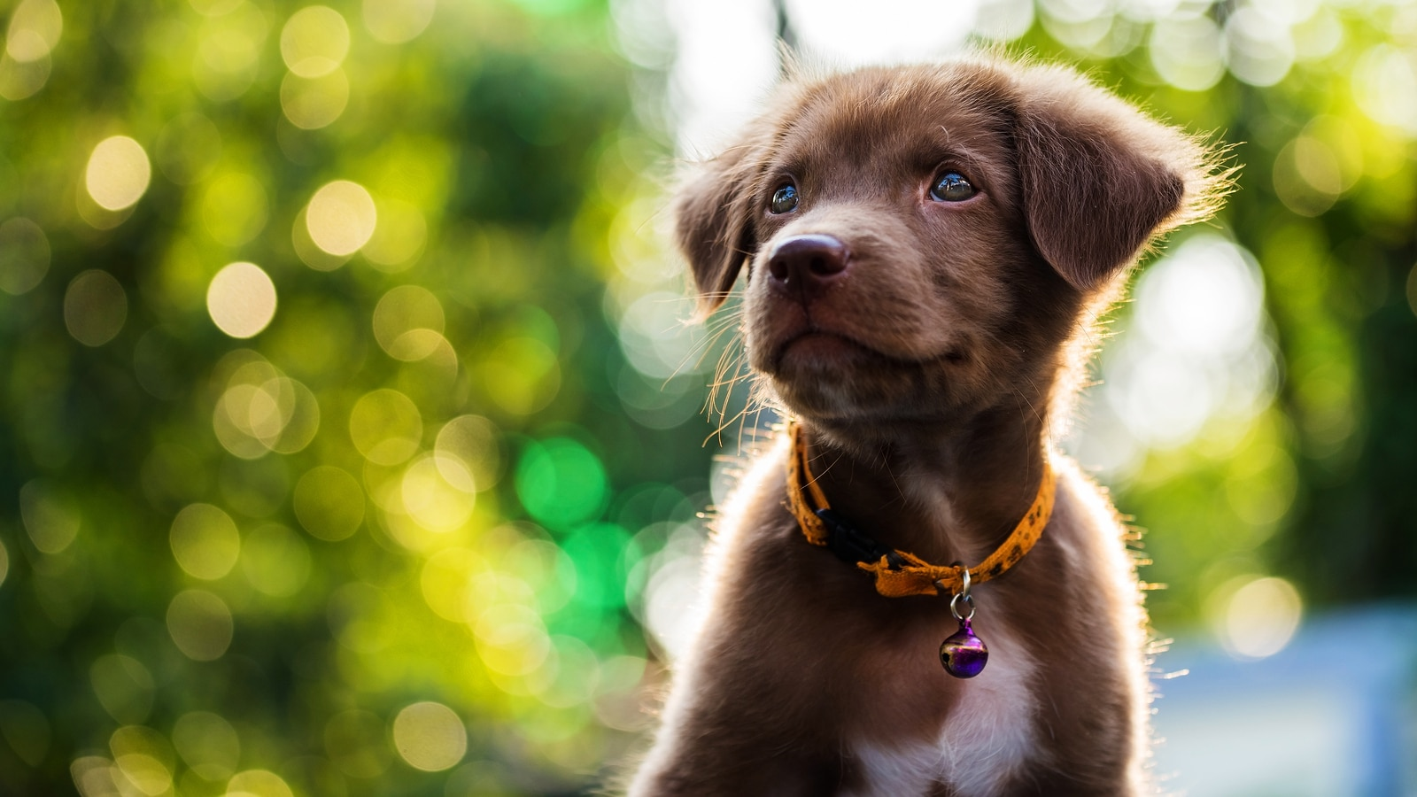 Little brown adorable puppy with sunset background