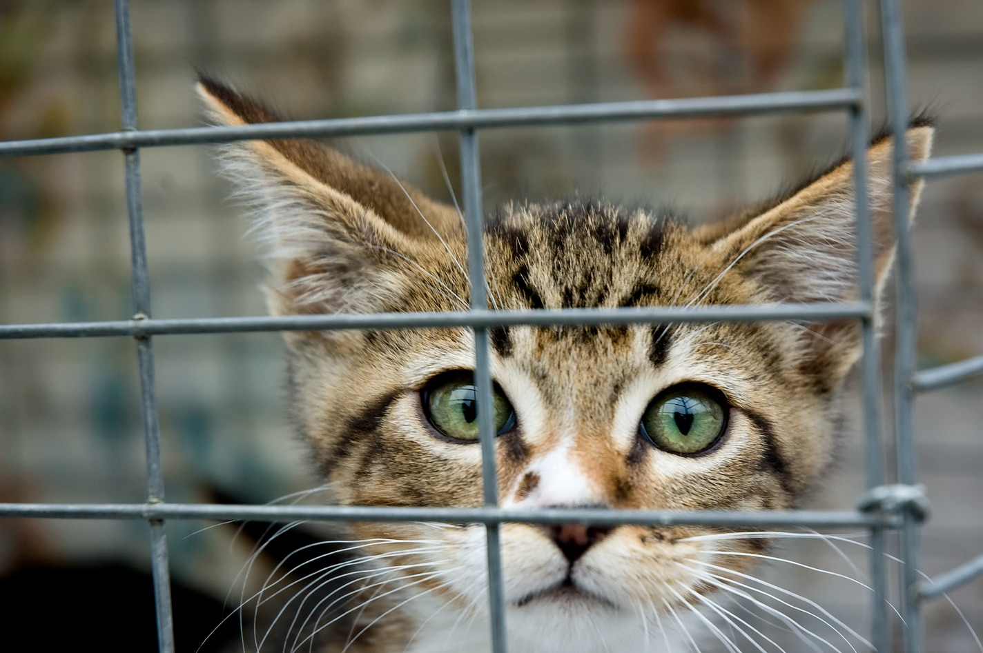 A kitten with green eyes staring out from a cage