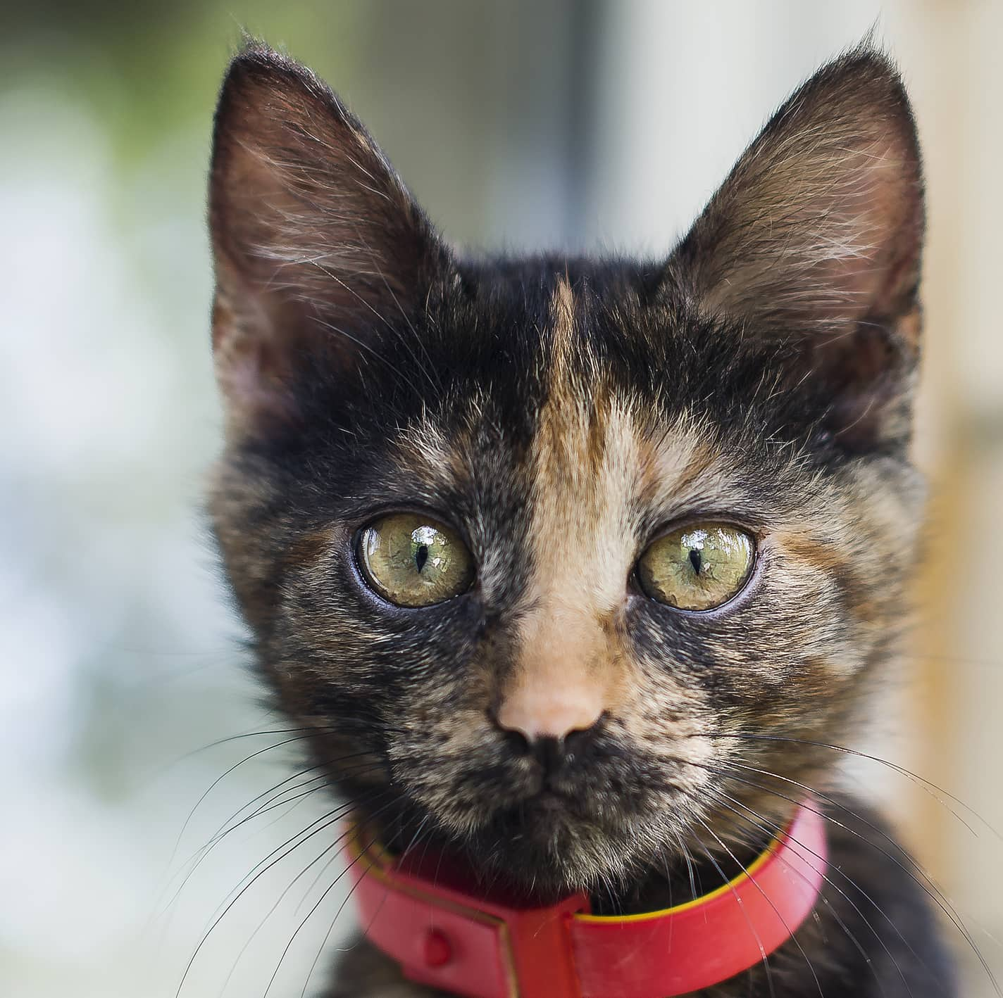 Close-up of black and orange kitten in red collar.