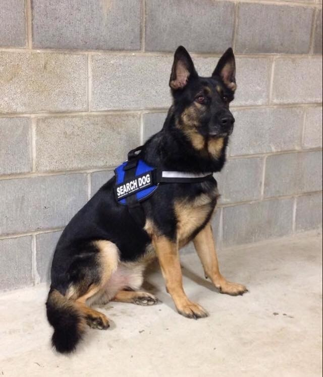 Mostly black German shepherd in rescue vest poses for picture